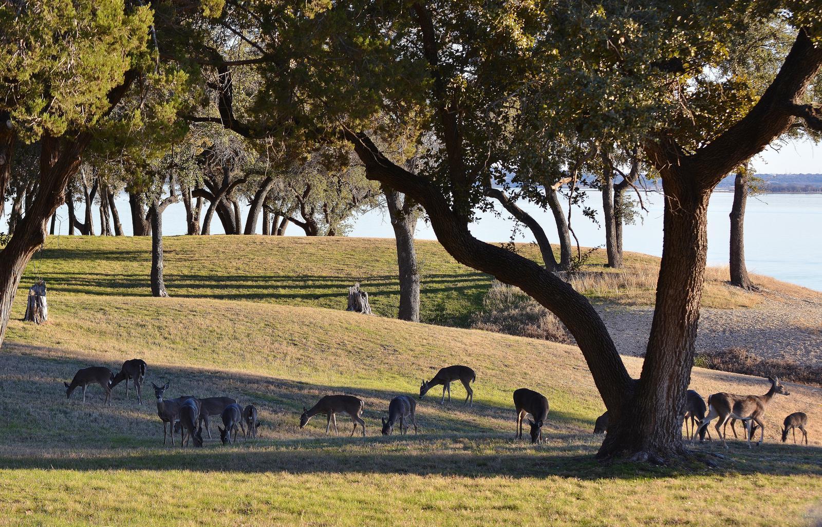 A herd of deer grazing in Airport Park