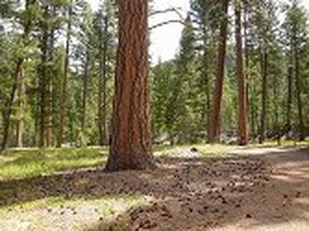 Large ponderosa pine trees throughout Alta Campground
