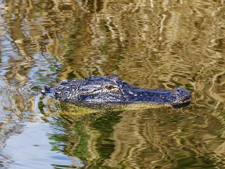 Alligator in the St Lucie Canal