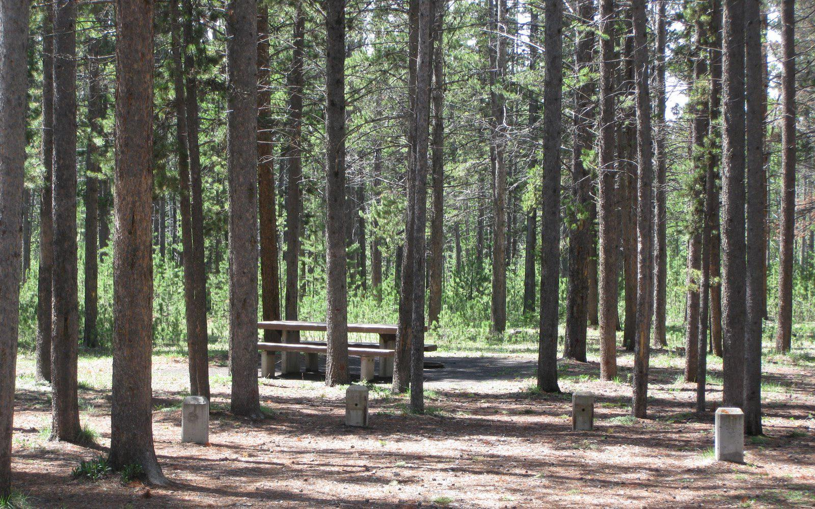 Site C14, surrounded by pine trees, picnic table & fire ringSite C14