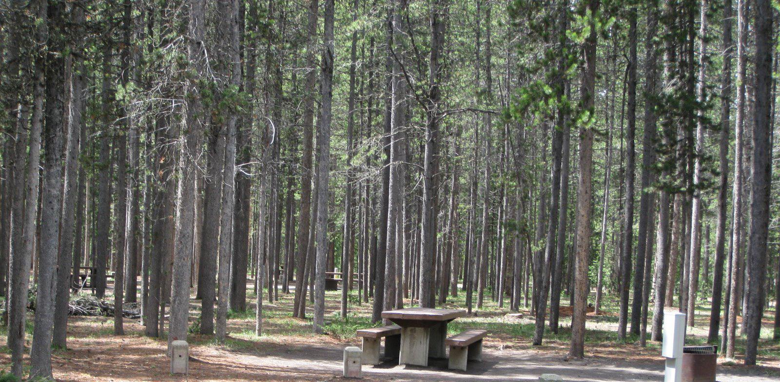 Site C17, surrounded by pine trees, picnic table & fire ringSite C17