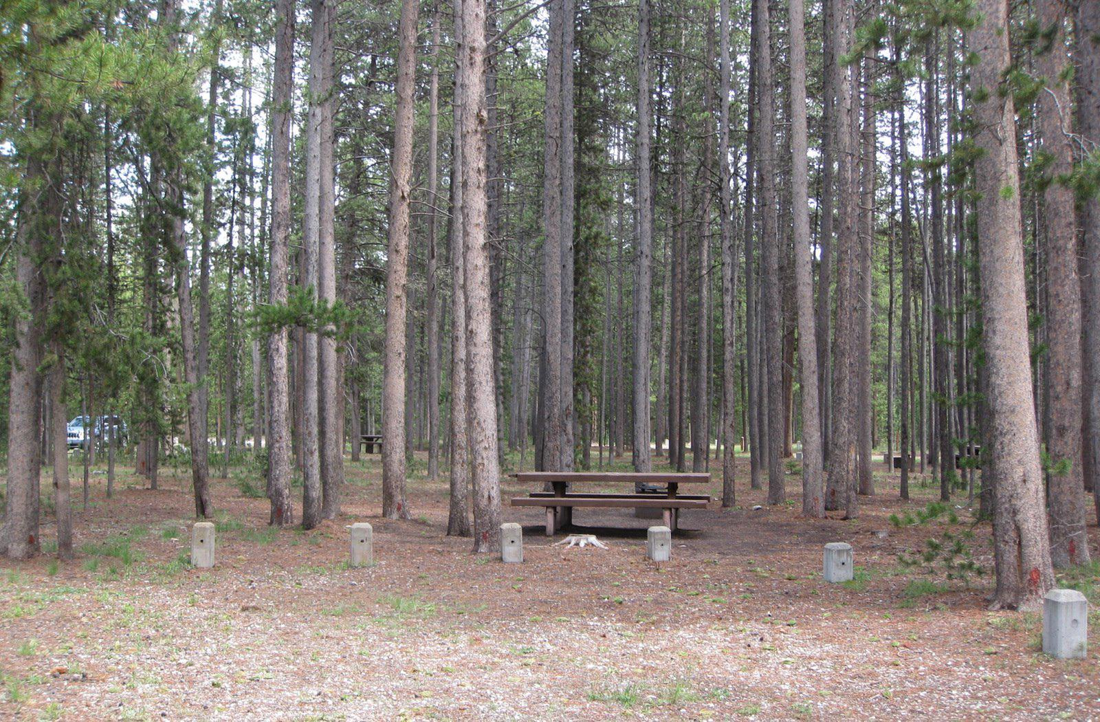 Site D4, surrounded by pine trees, picnic table & fire ringSite D4