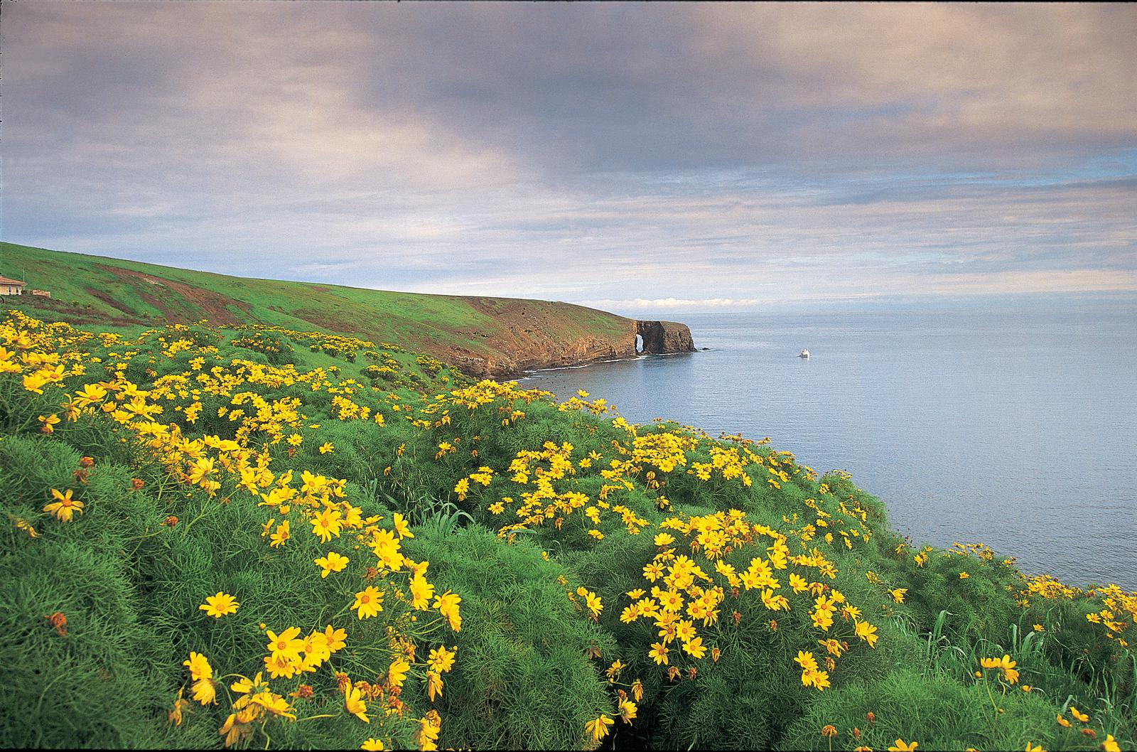 Yellow flowered plants covering ocean bluff overlooking coastline with arch in the distance.Arch Point, Santa Barbara Island