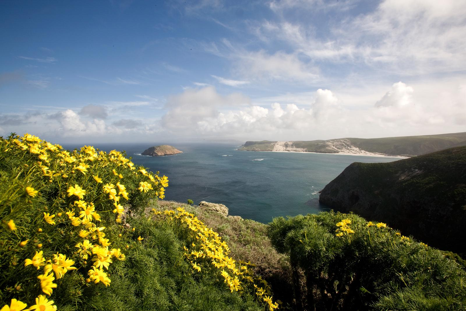 Yellow flowered plant on coastal bluff overlooking harbor with white sand and islet at the entrance.Cuyler Harbor, San Miguel Island