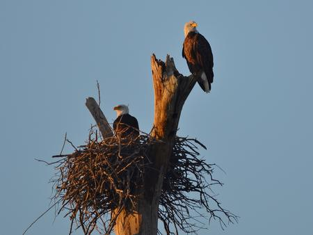 Bald Eagles perched in dead treeBald eagles nesting in a dead tree