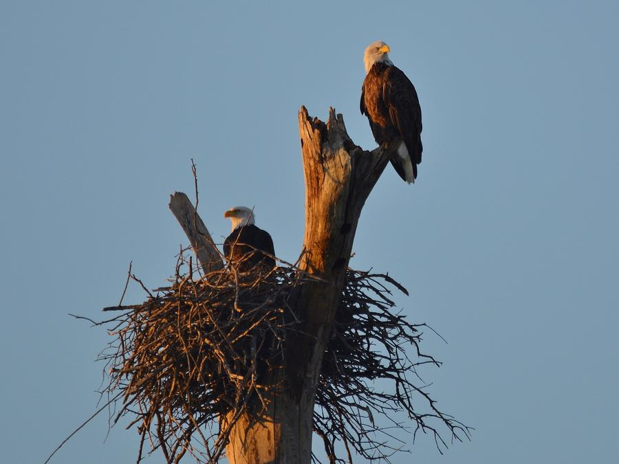 Bald Eagles perched in dead tree