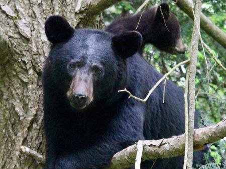 Black bears roam freely through the campground both during the day and at night.Bear and cub; bears and other wildlife roam freely through the campground both day and night.