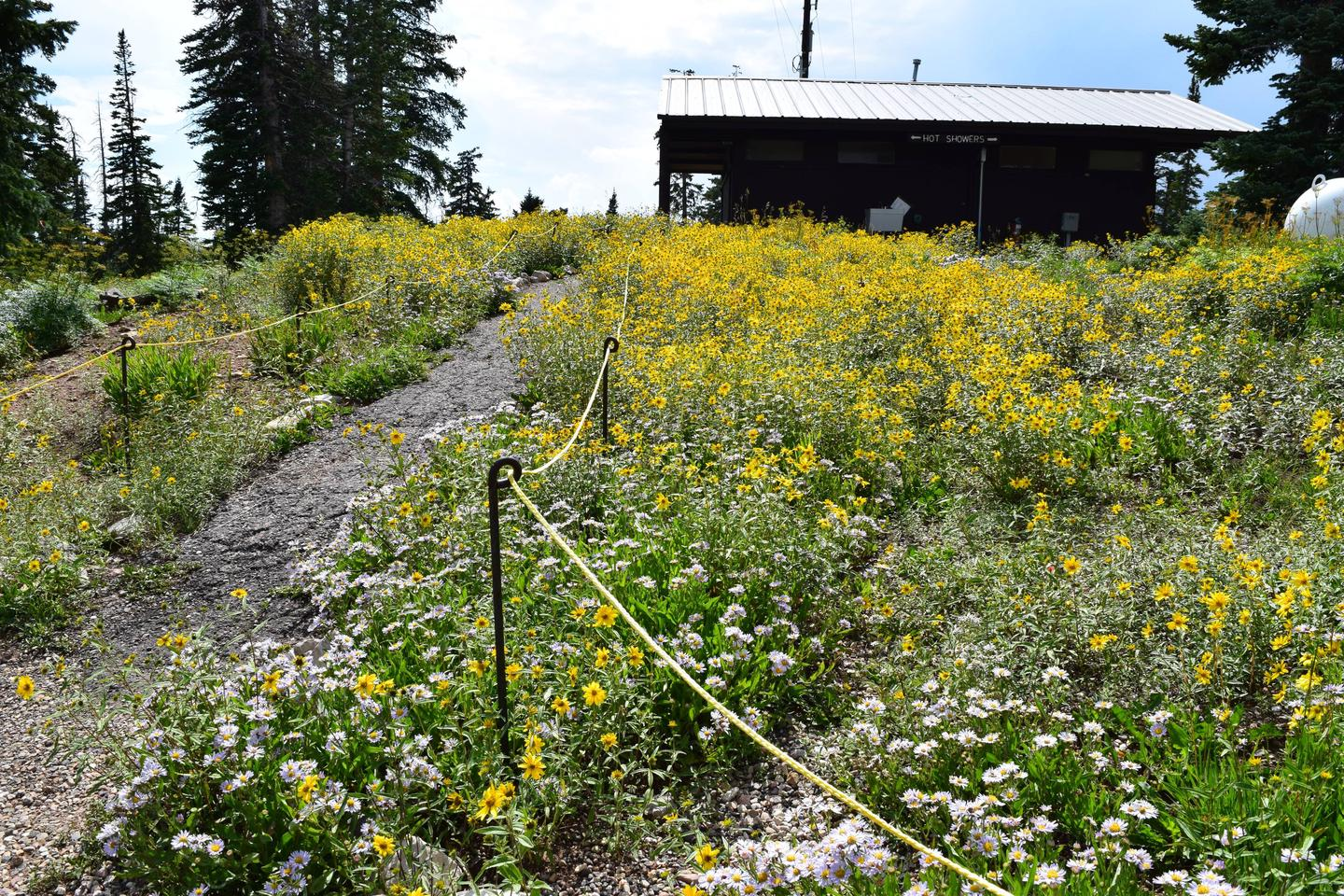Path towards restroom building with yellow wildflowers. The path the the restroom and showers has beautiful wildflowers during the summer months.