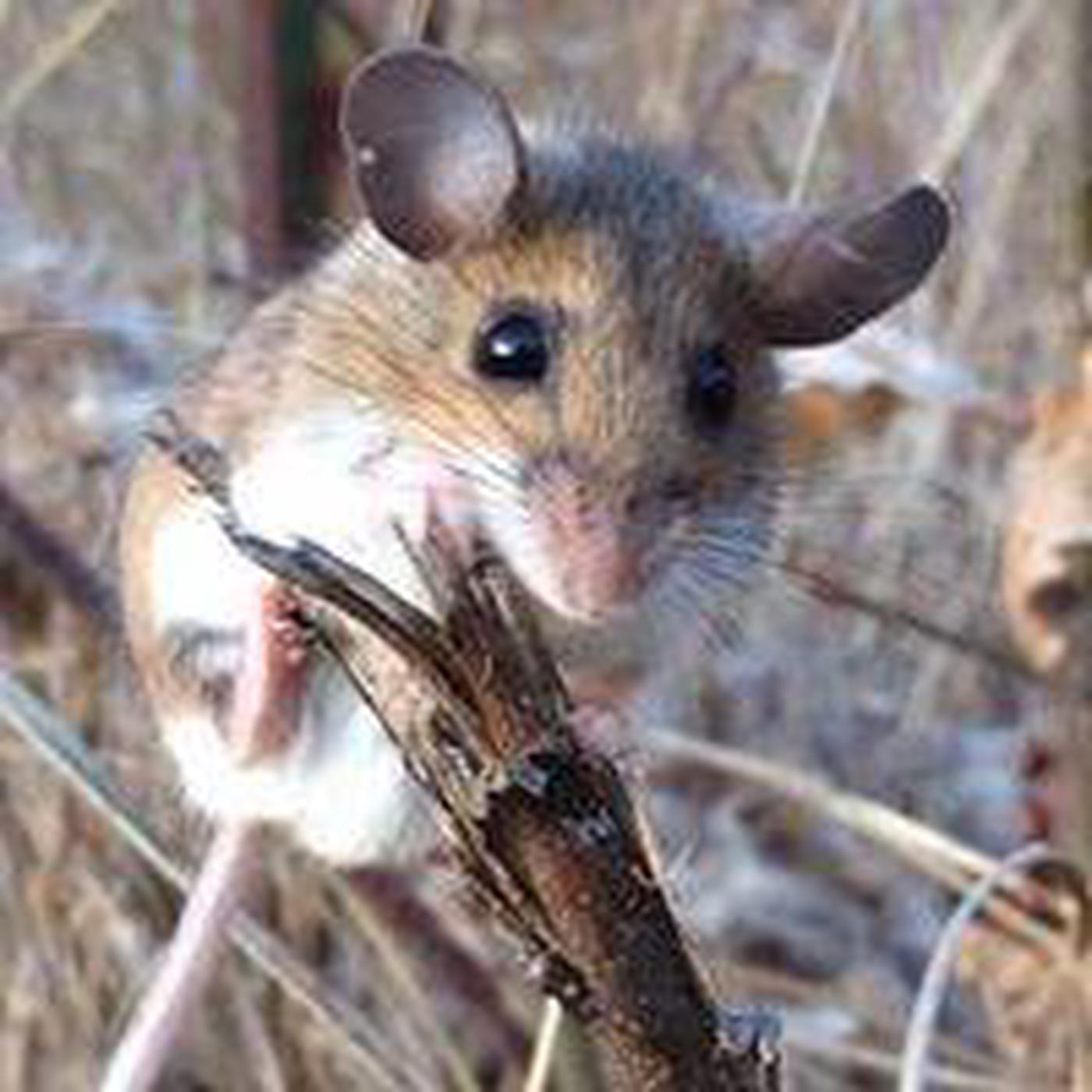 Field mouse clinging to small tree stump with ears perked.Nature abounds at West Hill Park and Dam, ranger lead hikes.