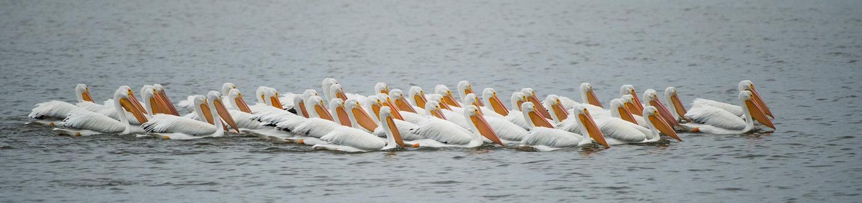 White Pelicans at Pea Island National Wildlife Refuge