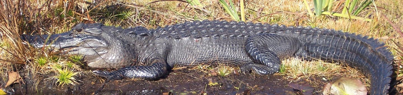 Alligator - Merritt Island National Wildlife Refuge
