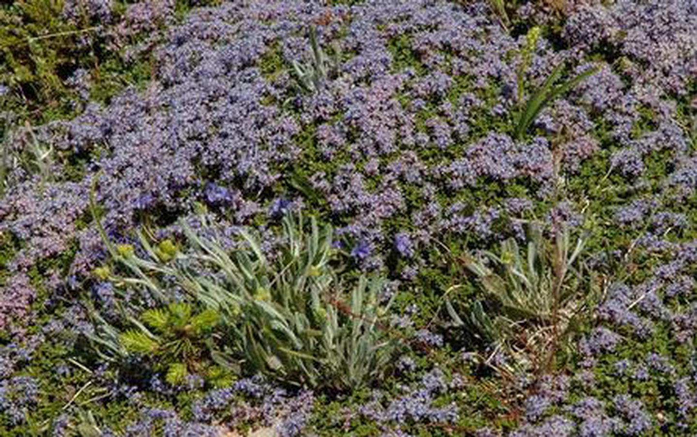 Blue alpine flowersAlpine flowers