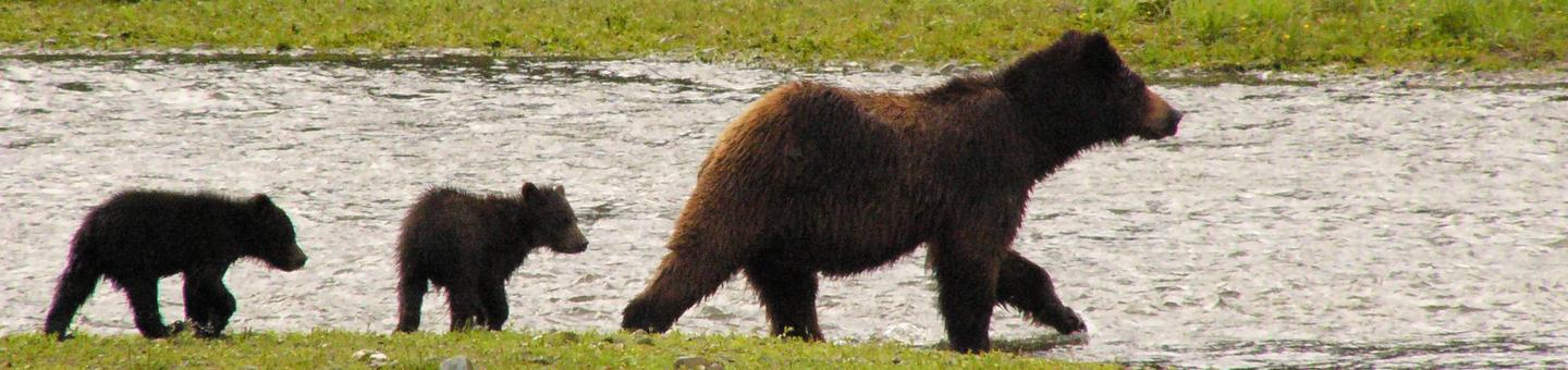 Female brown/grizzly bear fishing with two cubs in tow. Female brown bear fishing with cubs in tow.