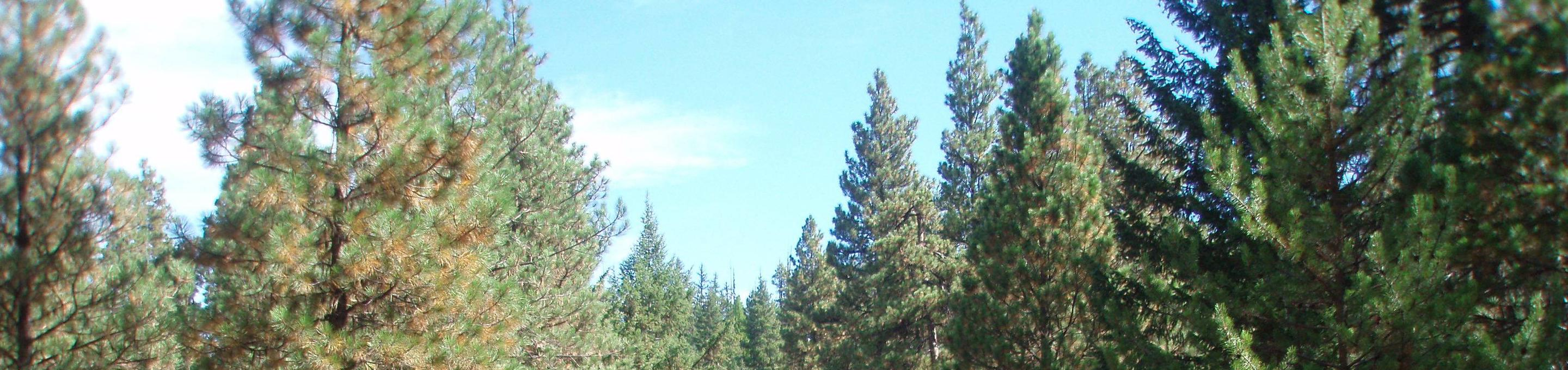 Pine and fir trees under blue, partly cloudy sky.Kaner Flat Campground