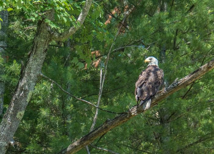 A Bald Eagle looks over the Pine RiverAmerican Bald Eagle in the Pine River Corridor