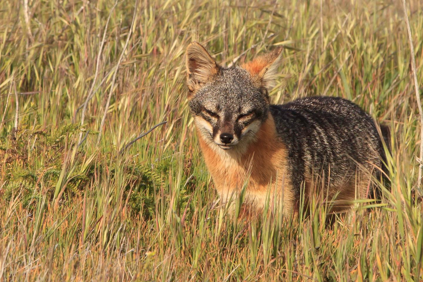Island Fox by Tim HaufIsland Fox, Santa Cruz Island: Thousands of years of isolation in a unique island environment has resulted in the development of the endemic island fox, a dwarf form of the mainland gray fox.