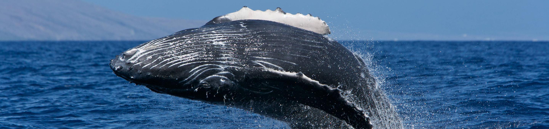 Hawaiian Islands Humpback Whale National Marine SanctuaryA humpback whale breaches in Hawaiian Islands Humpback Whale National Marine Sanctuary