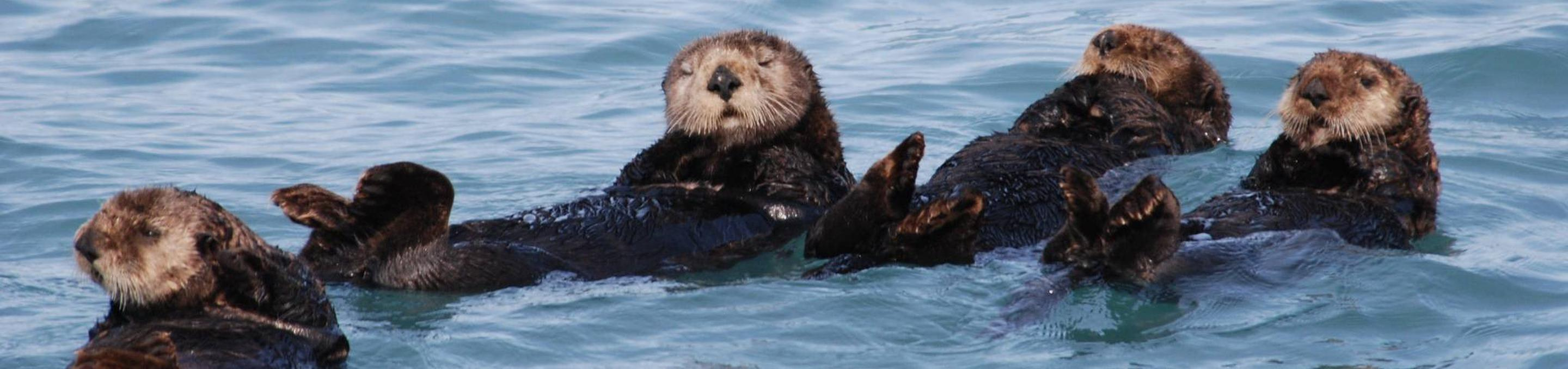 Monterey Bay National Marine SanctuarySea Otters in Monterey Bay National Marine Sanctuary