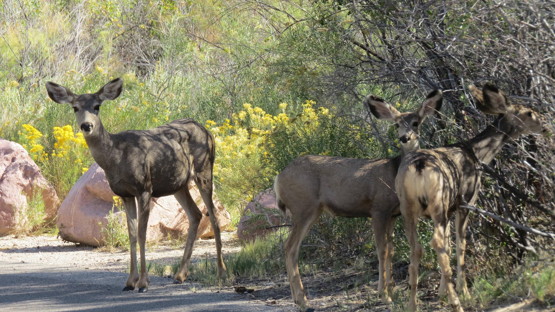 Three deer wandering through C loop.