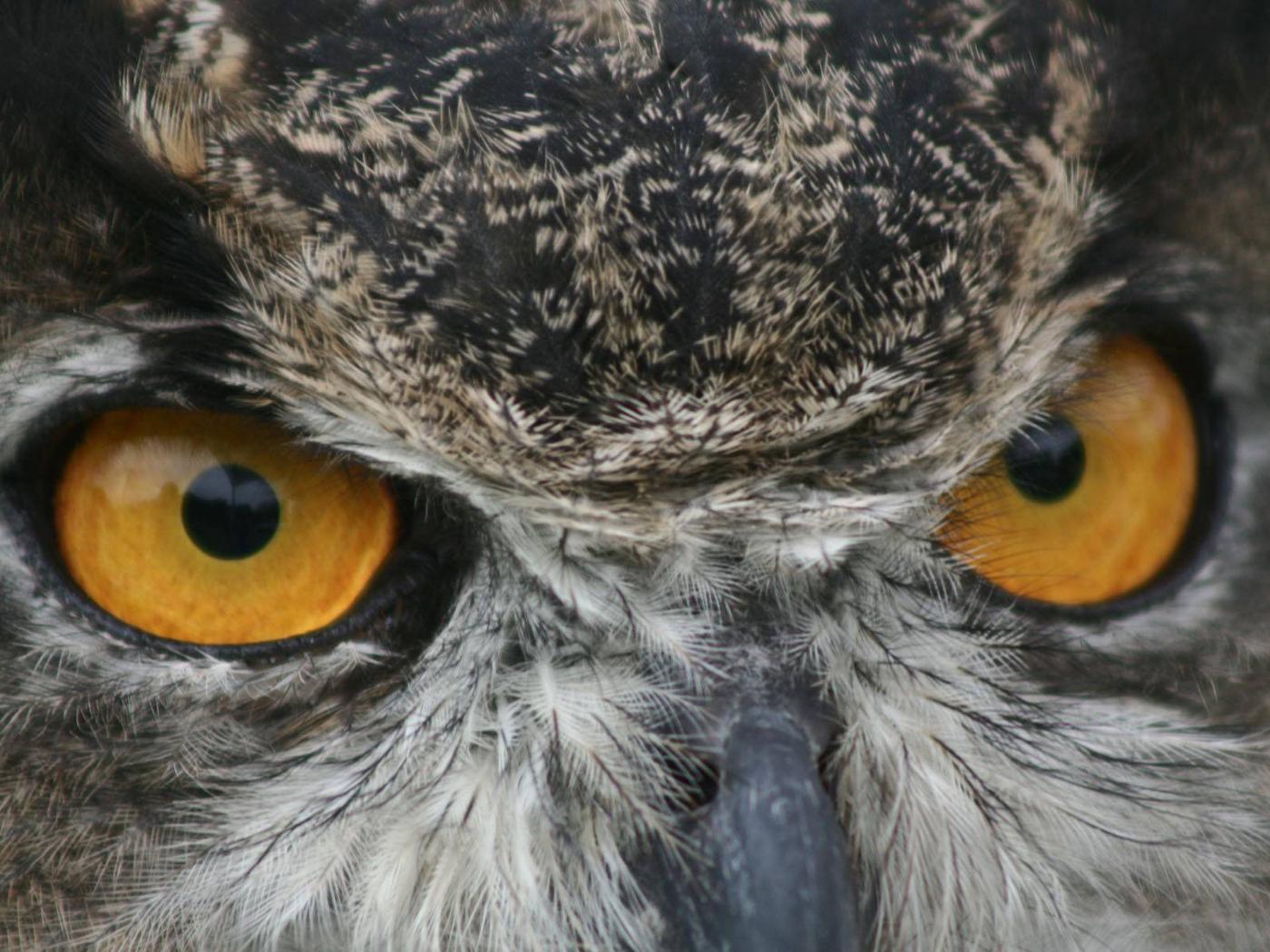 John Heinz at Tinicum National Wildlife RefugeGreat Horned Owl at John Heinz at Tinicum National Wildlife Refuge