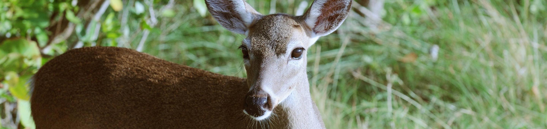 National Key Deer Wildlife RefugeEndangered Key Deer on National Key Deer Wildlife Refuge