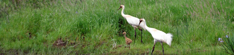 Necedah National Wildlife RefugeWhooping Cranes on Necedah National Wildlife Refuge