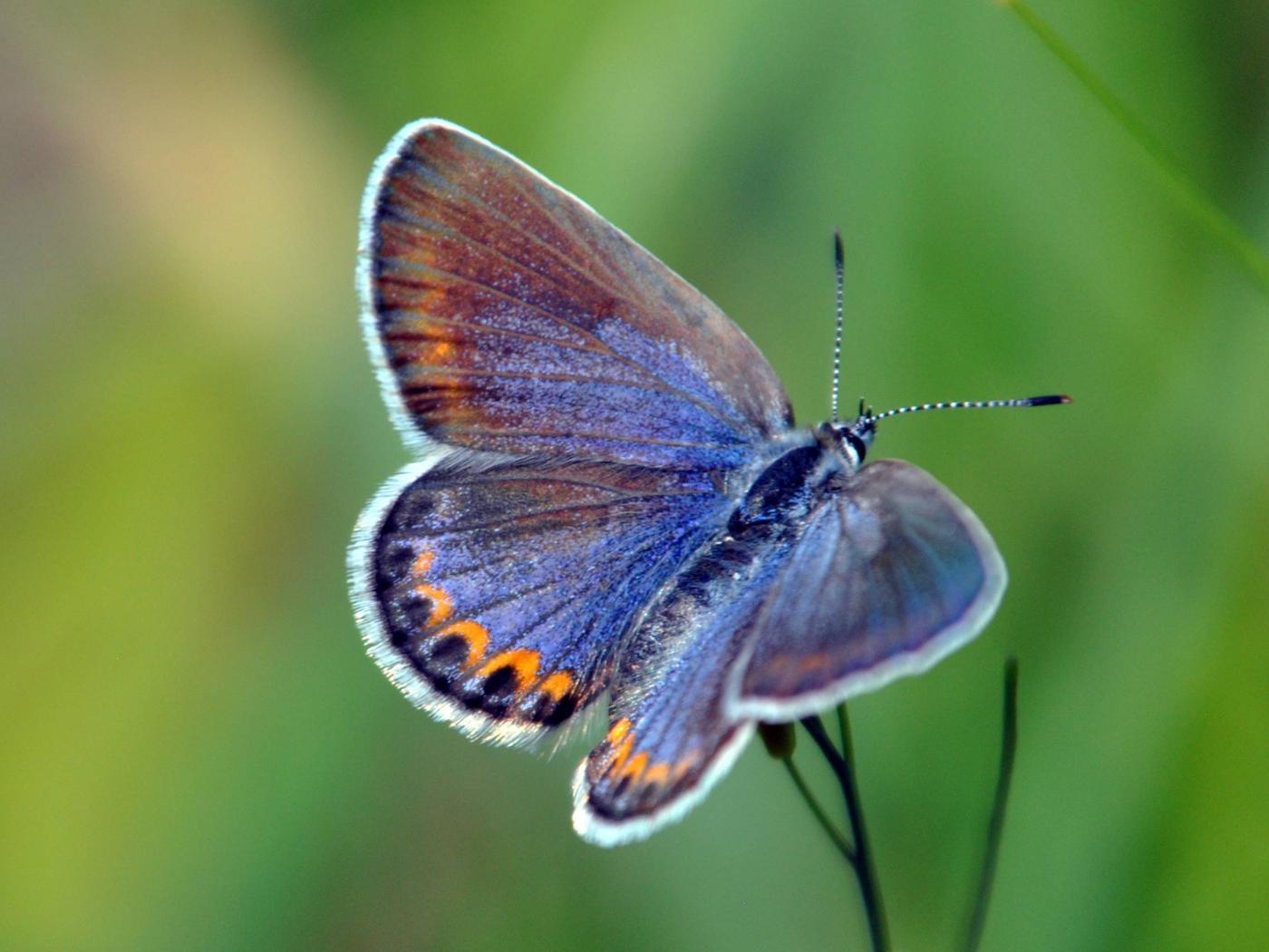 Necedah National Wildlife RefugeFemale Blue Karner Butterfly on Necedah National Wildlife Refuge