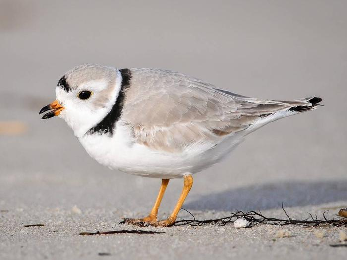 Cape May National Wildlife RefugePiping Plover at Cape May National Wildlife Refuge