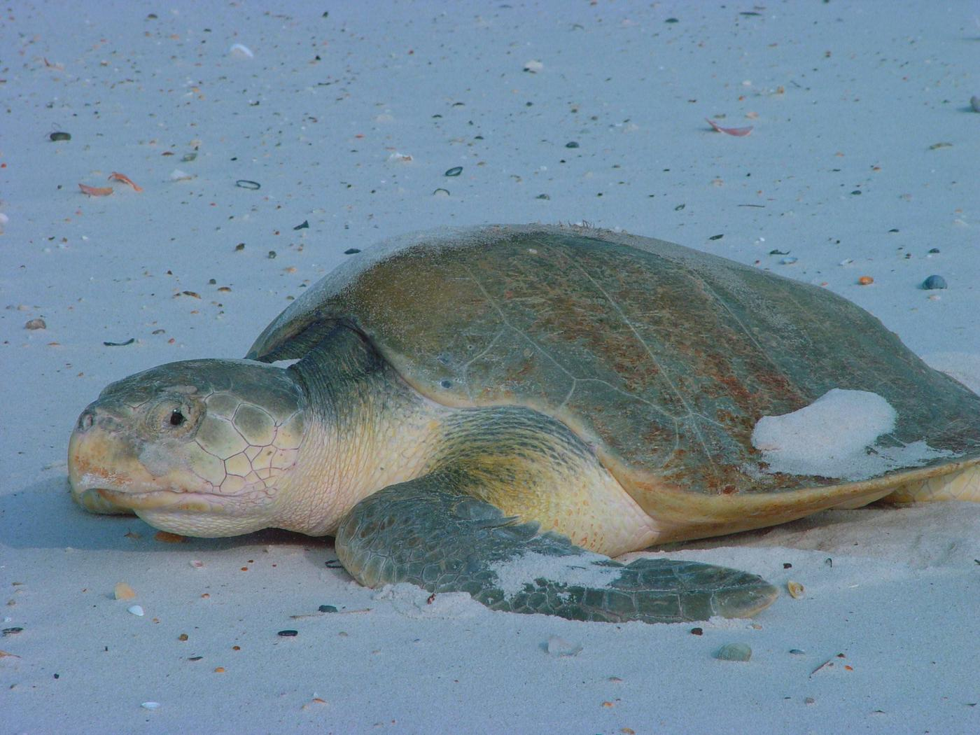 Bon Secour National Wildlife RefugeKemp's Ridley Turtle at Bon Secour National Wildlife Refuge