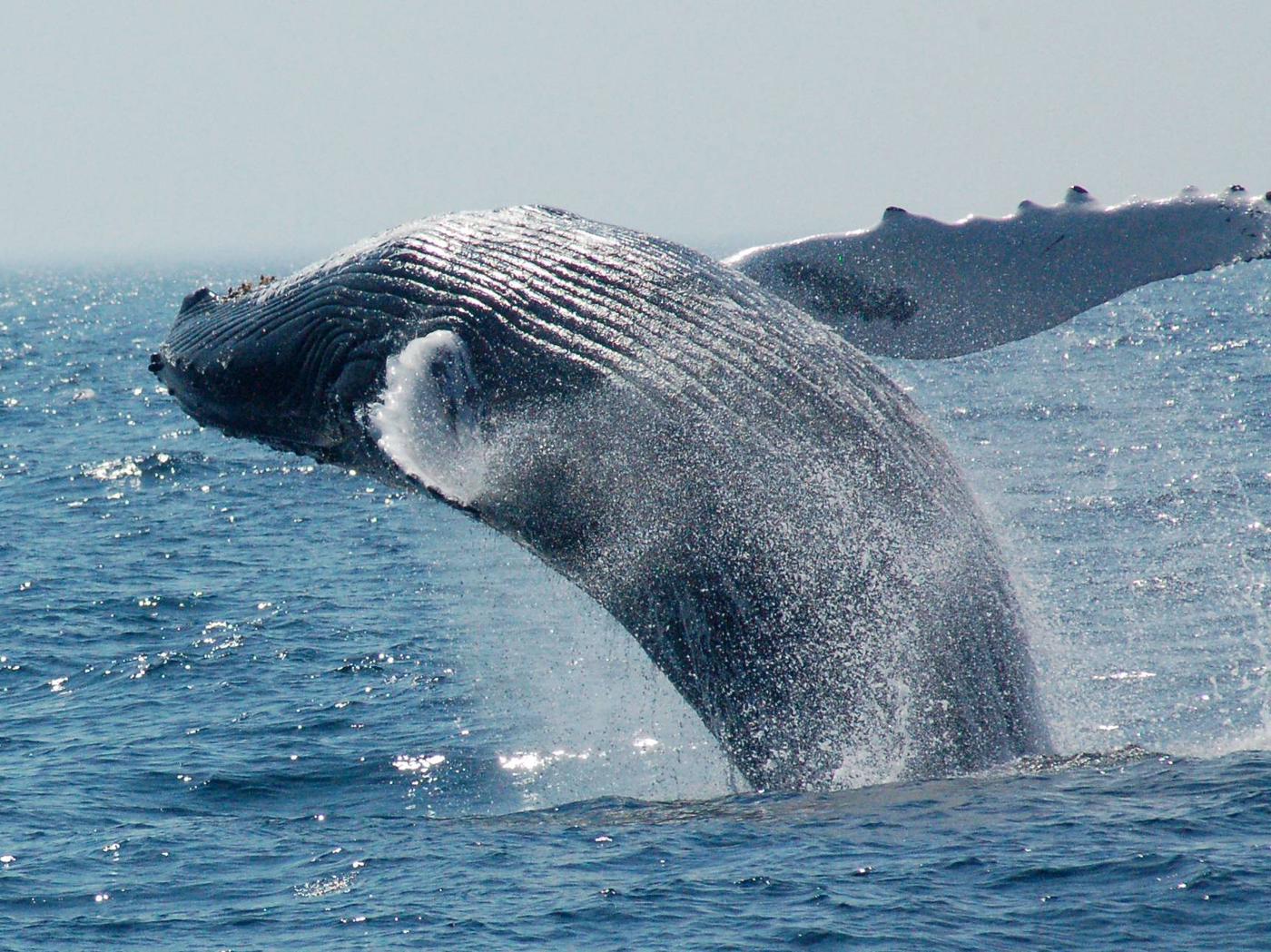Stellwagen Bank National Marine SanctuaryHumpback whale in Stellwagen Bank National Marine Sanctuary