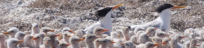 San Diego Bay National Wildlife RefugeElegant Tern chicks and adults at San Diego Bay National Wildlife Refuge