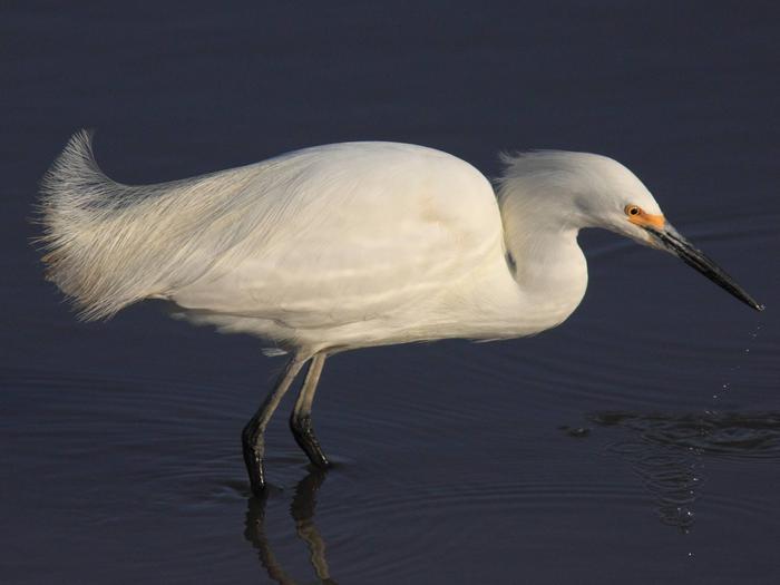 Harris Neck National Wildlife RefugeSnowy egret at Harris Neck National Wildlife Refuge
