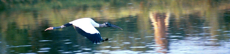 Pelican Island National Wildlife RefugeWood Stork at Pelican Island National Wildlife Refuge