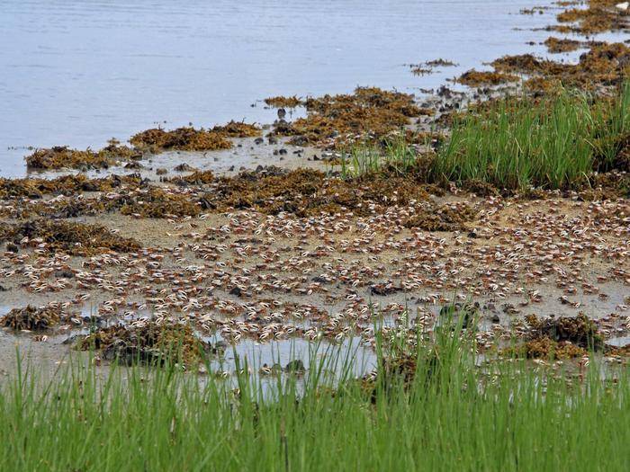 Elizabeth A. Morton National Wildlife RefugeFiddler Crabs at Elizabeth A. Morton National Wildlife Refuge