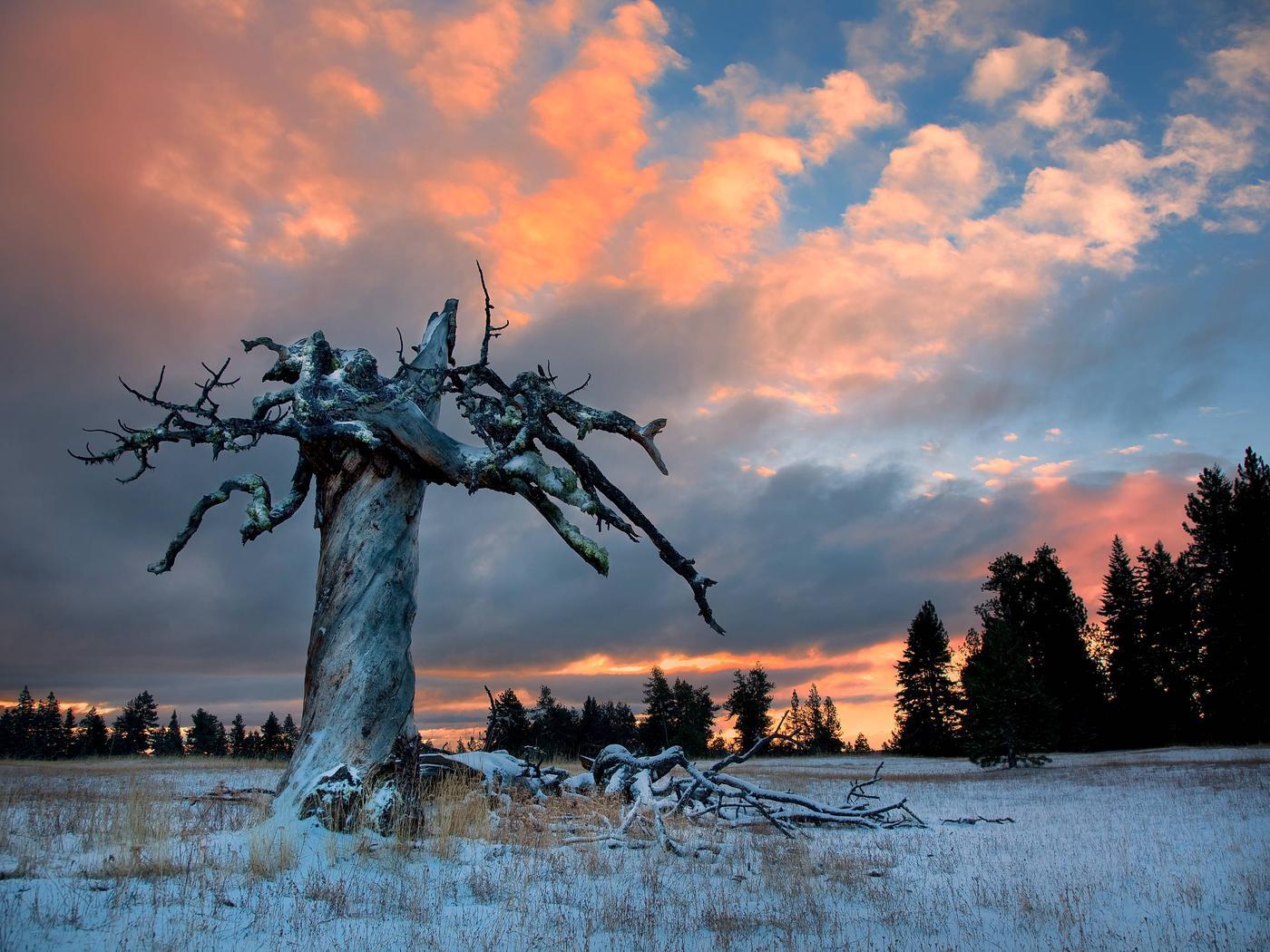Old Ponderosa Pine broken by lightning or wind at sunsetOld Ponderosa Pine broken by lightning or wind