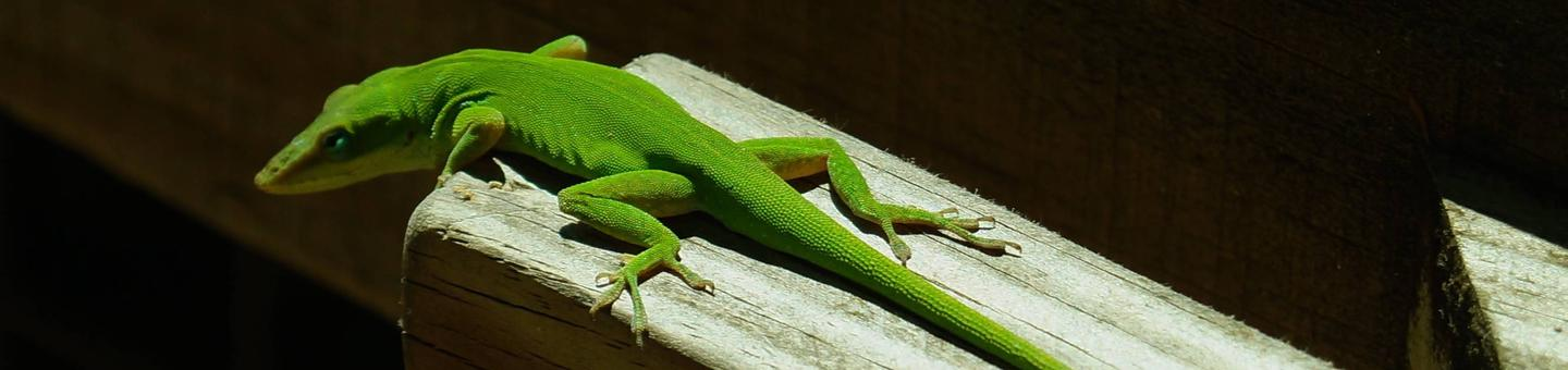 Green anole lizard on wooden railingGreen anole lizard, Apalachicola National Forest