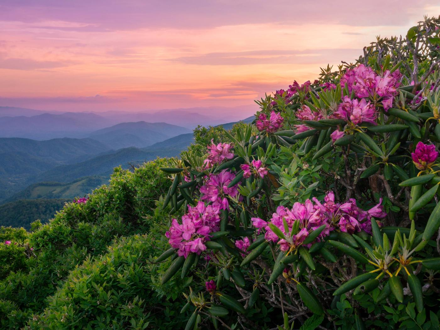 Rhododendrons in foreground on mountainside, Pisgah National ForestRhododendrons, Pisgah National Forest