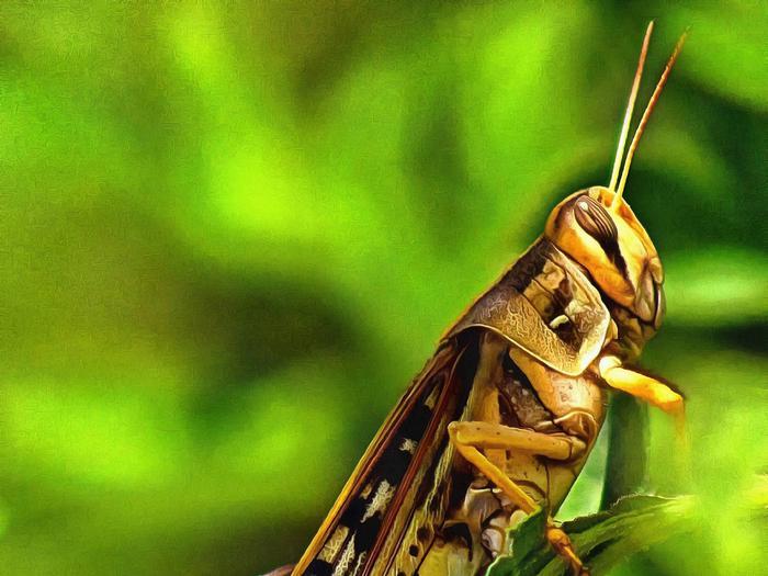 Grasshopper, Attwater Prairie Chicken National Wildlife Refuge