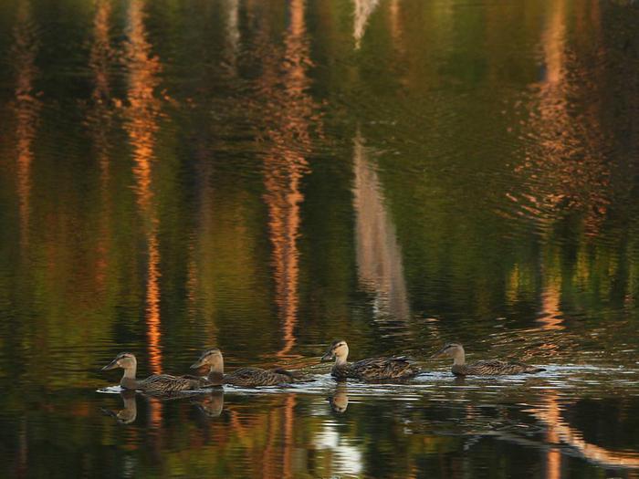 Ducks on pond, Big Branch Marsh National Wildlife RefugeBig Branch Marsh National Wildlife Refuge