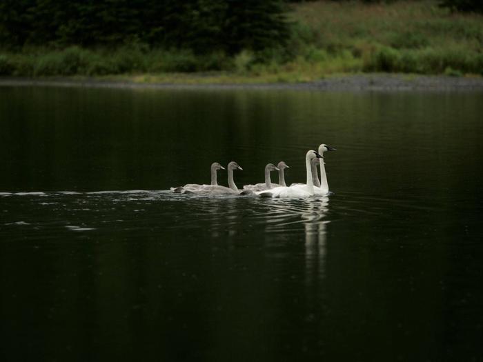 Kenai National Wildlife RefugeKenai Trumpeter Swans