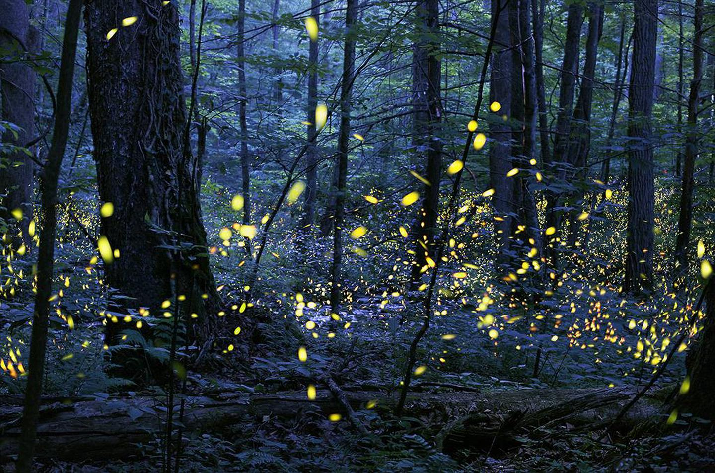 """Firefly eventThe production of light by living organisms is called bioluminescence. Fireflies are a good example of an organism that bioluminesces, but there are others as well, such as certain species of fungus, fish, shrimp, jellyfish, plankton, glowworms, gnats, snails, and springtails.  Bioluminescence involves highly efficient chemical reactions that result in the release of particles of light with little or no emission of heat. Fireflies combine the chemical luciferin and oxygen with the enzyme luciferase in their lanterns (part of their abdomens) to make light. The light produced is referred to as a """"cold"""" light, with nearly 100% of the energy given off as light. In contrast, the energy produced by an incandescent light bulb is approximately 10% light and 90% heat.  No one is sure why the fireflies flash synchronously. Competition between males may be one reason: they all want to be the first to flash. Or perhaps if the males all flash together they have a better chance of being noticed, and the females can make better comparisons."""