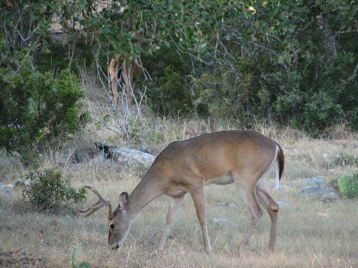 Deer grazing at Canyon Lake