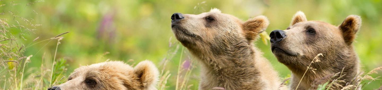 Kodiak National Wildlife RefugeMother Kodiak brown bear with 2 cubs sniff for scents