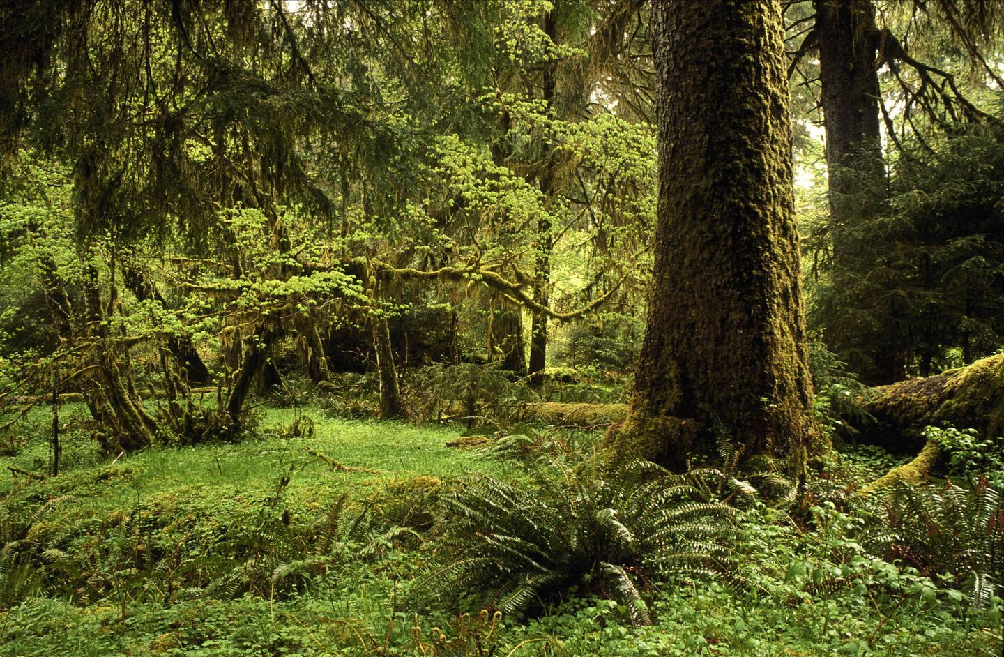 View of temperate rain forest with large spruce tree.Temperate Rain Forest