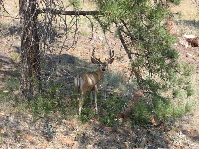 Cottonwood Springs WildlifeA Buck relaxing in the shade under a tree