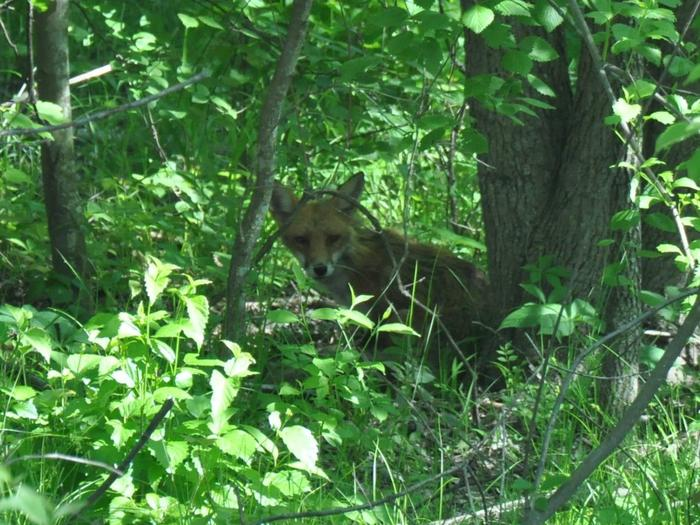 Red Fox at Occoquan Bay National Wildlife RefugeOccoquan Bay National Wildlife Refuge