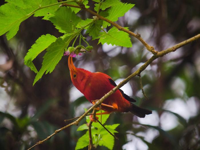 Hakalau Forest National Wildlife Refuge