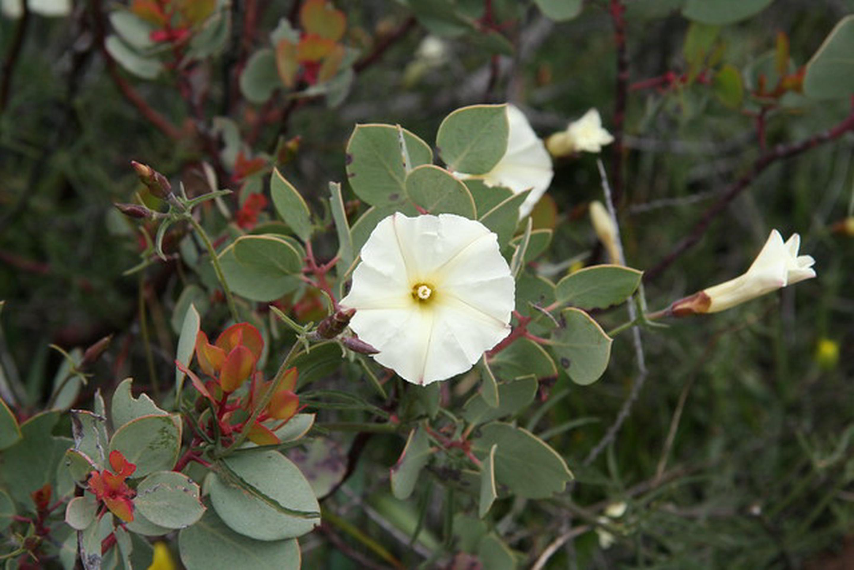 Pine Hill Preserve ACECThe rare Stebbins morning glory growing on a manzanita bush.