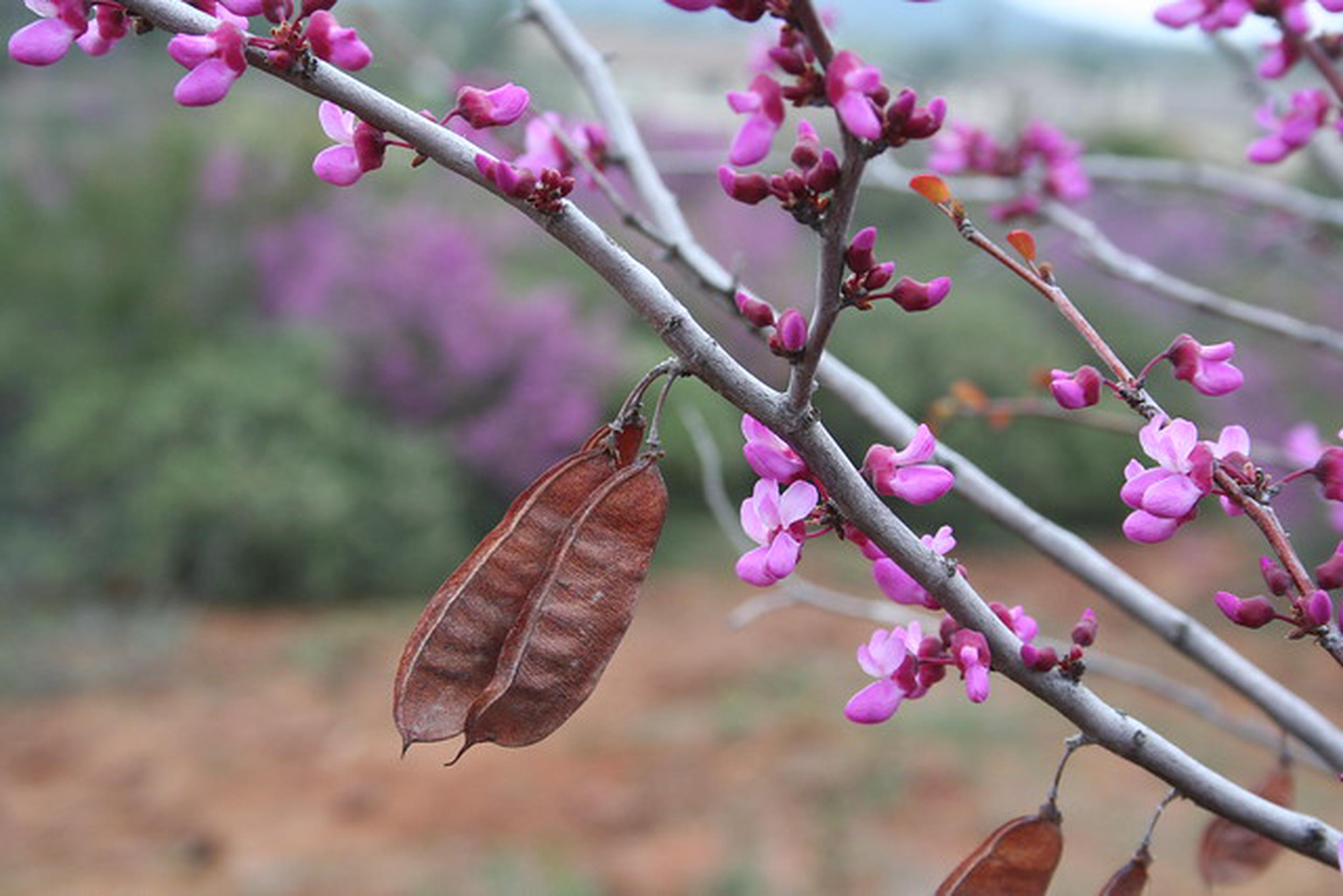 Pine Hill Preserve ACECRed Bud in flower.