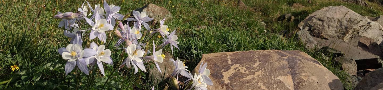 Medicine Bow-Routt NF summer flowers